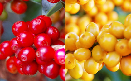 da 026 image 02 - 土居珈琲のコーヒー豆「ブラジルアマレロ」を飲んだ感想を正直に述べる