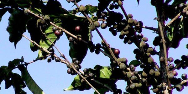 th ba 071 mainvisual 01 600x300 - 土居珈琲のコーヒー豆モンドノーボ ドライオンツリー バウ農園の感想