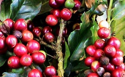 th da 071 image 01 - 土居珈琲のコーヒー豆モンドノーボ ドライオンツリー バウ農園の感想