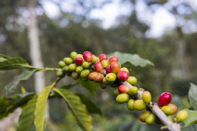 ホンジュラス産コーヒーの品種・種類