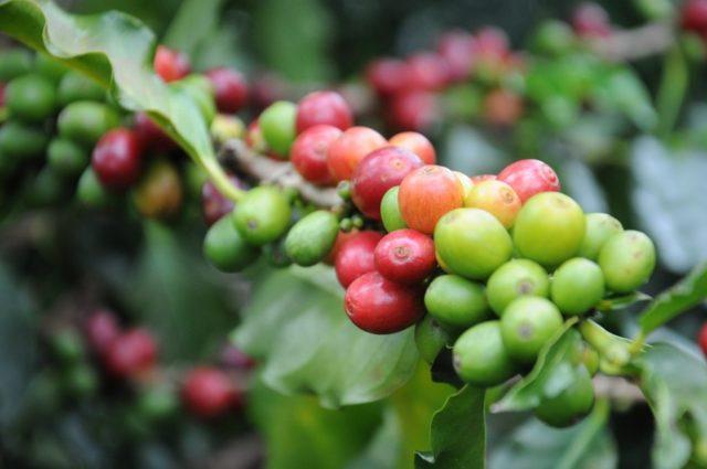 コーヒー産地