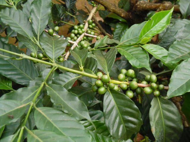 タンザニアにおけるコーヒー栽培の歴史