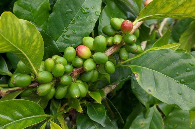 ブルンジ産コーヒー豆の栽培環境