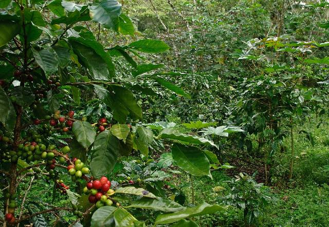 グアテマラ ウリアス農園